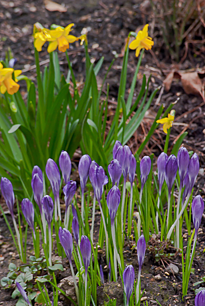 2 Quote A Flower Daily - Crocus and Daffodils
